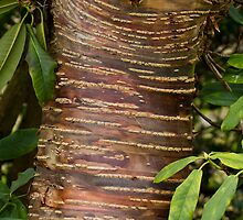 Himalayan Cherry Tree Bark by Sue Robinson