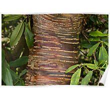 Himalayan Cherry Tree Bark Poster