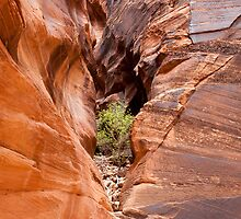 Tree in Buckskin Gulch by deserttrends