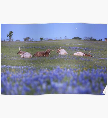 Bluebonnet pictures - Longhorns in bluebonnets in the early morning Poster
