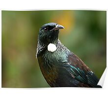 Portrait of a Tui.........! Poster