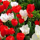 Tulips - Red and White by Samantha Wong