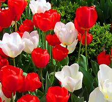 Tulips - Red and White by Sami Wong
