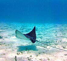 Spotted Eagle Ray by emilyduwan