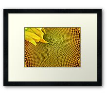 Nearly there...Sunflower Framed Print