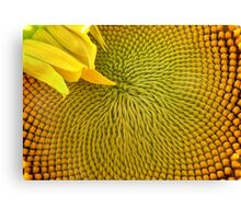 Nearly there...Sunflower Canvas Print