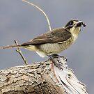 Cricket Anyone  Butcher Bird  Canberra Australia  by Kym Bradley