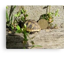 Baby Eastern Hermann's Tortoise in Romania Canvas Print