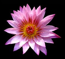 Pink Waterlily by LeJour