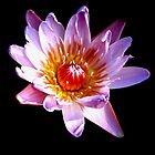 Pink Waterlily (2) by LeJour