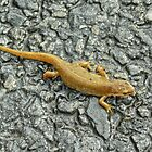 Common Newt by VoluntaryRanger