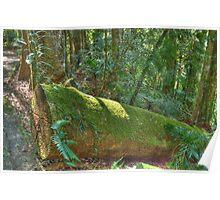 Rainforest Walk, Dorrigo National Park, NSW Poster