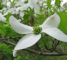 The Beauty of the Dogwood by Lynn Gedeon