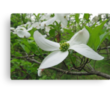 The Beauty of the Dogwood Canvas Print
