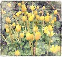 Celandines by SuzyPhoto