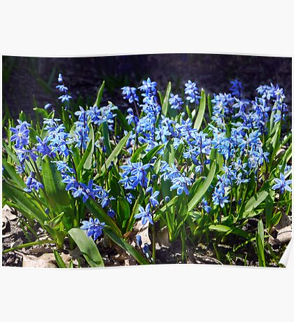 First Blooms - Scilla Siberica Poster
