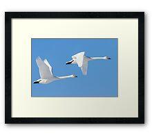 Swans in flight. Framed Print