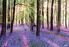 Morning Bluebells Cropped by redtree