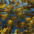To Lie Under the Aspens in Fall by WhiteLightPhoto