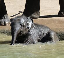 Baby Asian Elephant Enjoys Supervised Bathing by Margaret Saheed