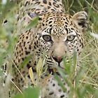Africa - My Leopards by Pauline Adair