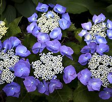 Blue Hydrangea by Mikell Herrick