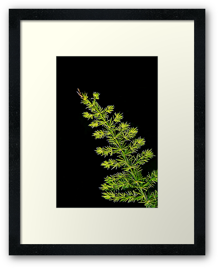 Fern, Fern, Asparagus Fern by paintingsheep