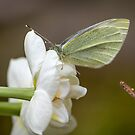Small White Visitor by Mikell Herrick