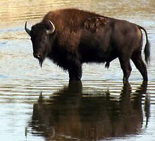 The Bison Reflection by Johnathan Warren