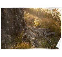 Golden sun sets over a river red gum Poster