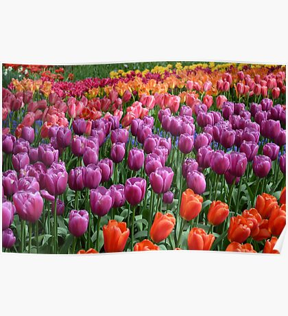 Tulip Fields 1 Poster