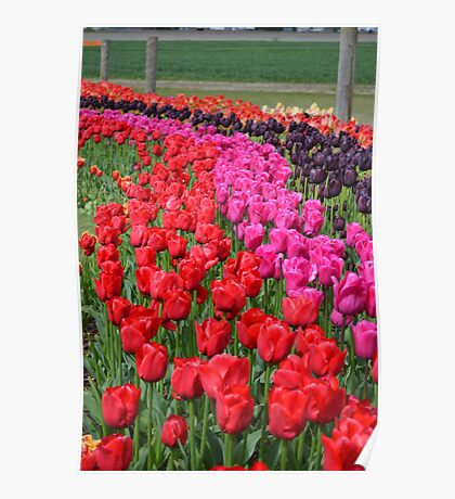 Tulip Fields 2 Poster