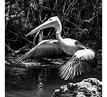 Pelican on the river Photographic Print