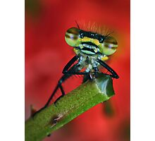 Damselfly portrait Photographic Print