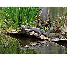 Lazy Gator Reflection Photographic Print