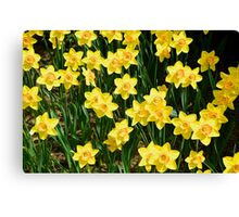 A Sea of Daffodils Canvas Print