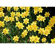 A Sea of Daffodils Photographic Print
