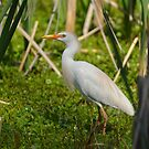 Cattle Egret With Breeding Plumage by Kathy Baccari