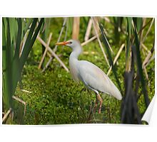 Cattle Egret With Breeding Plumage Poster