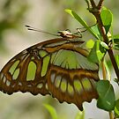 Malachite Butterfly by Kathy Baccari