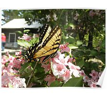 Tiger Swallow on some pretty flowers Poster