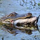 Alligator Catches Catfish by Kathy Baccari