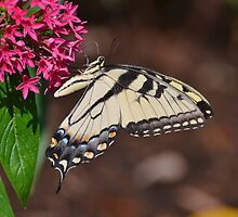 Pretty Tiger Swallowtail On Pentas by Kathy Baccari