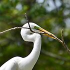 Great Egret With A Nest Branch by Kathy Baccari