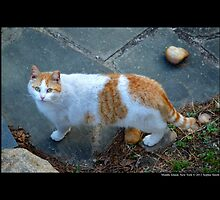 Felis Catus - White And Orange Domestic Stray Cat  by © Sophie W. Smith