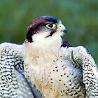 Peregrine Falcon (Falco Peregrinus) by mlphoto