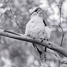 Laughing Kookaburrra by WINKYI
