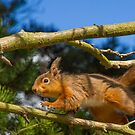 Red Squirrel on the run by moonunit
