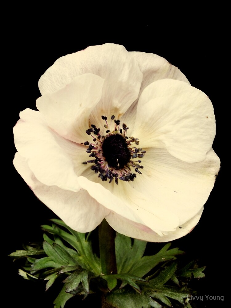 Anemone by Livvy Young