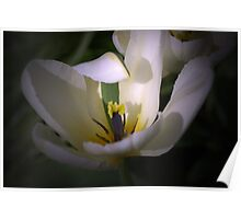 The White Tulip with the Green stripe Poster